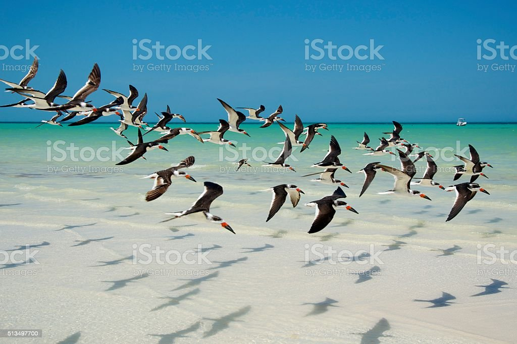 Black Skimmer dance in Holbox, Mexico stock photo