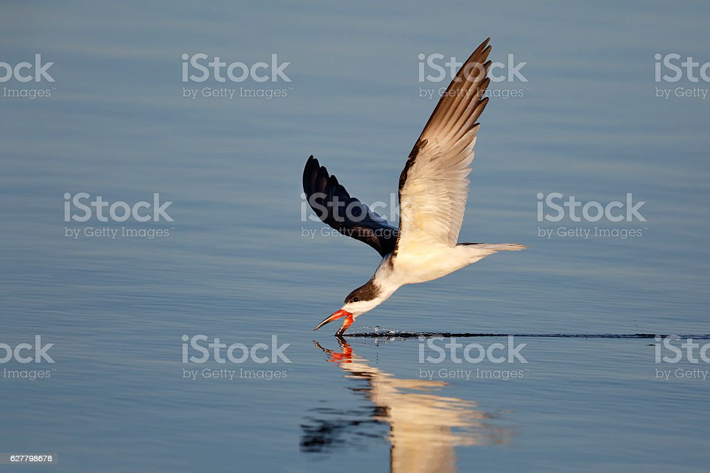 Black Skimmer feeding in the Gulf of Mexico - Florida stock photo
