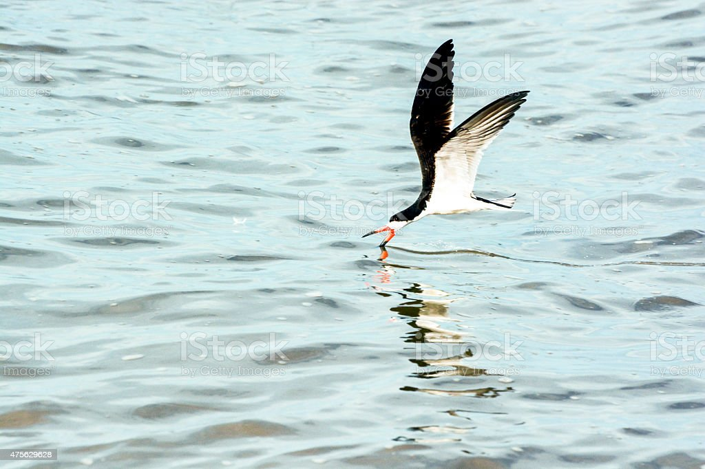 Black Skimmer Feeding While Flying and Skimming Over Water stock photo