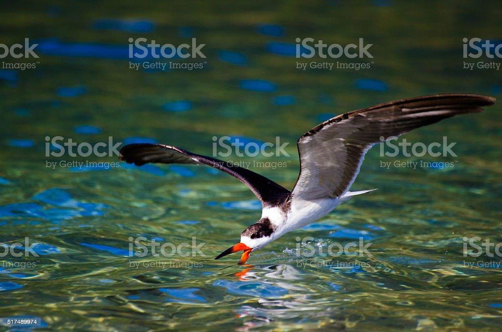 Black skimmer fishing stock photo