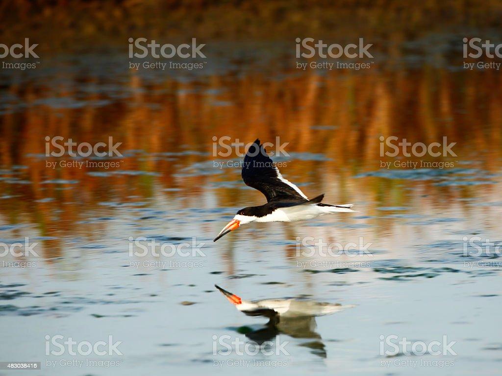 Black Skimmer Flying stock photo