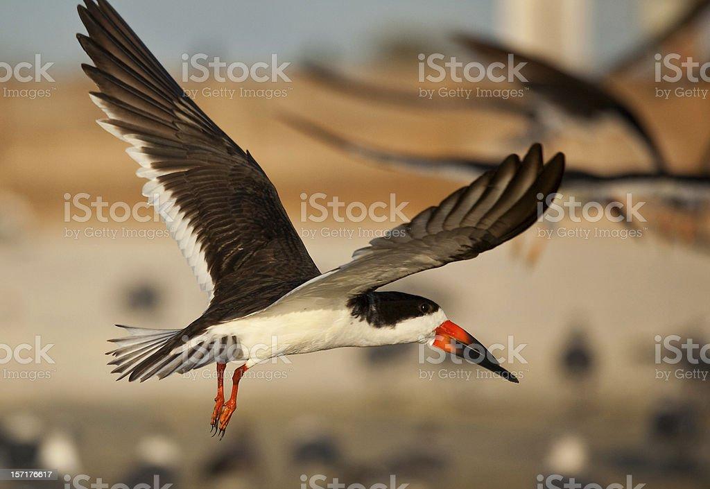 Black skimmer hovering over beach stock photo