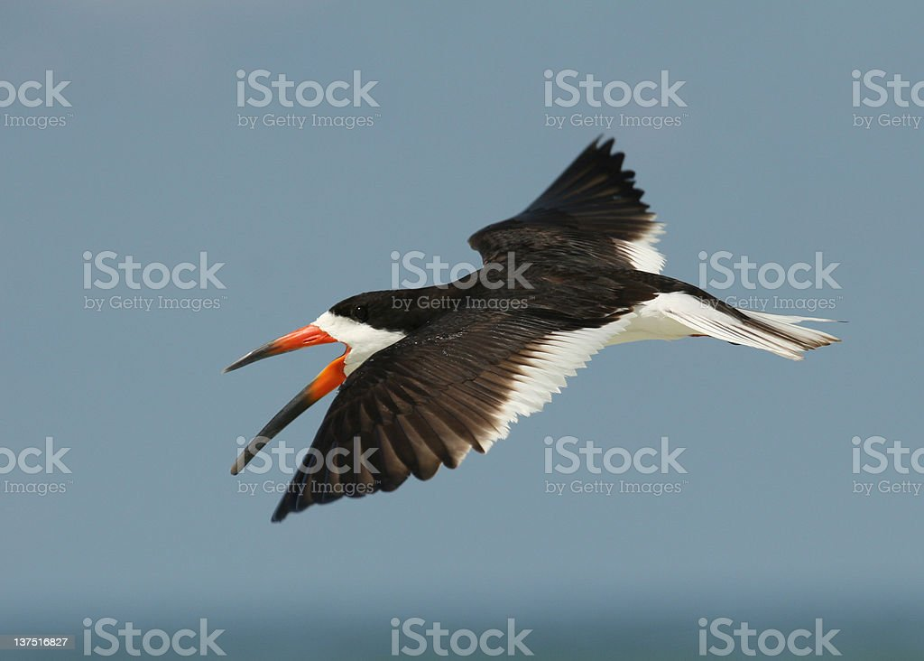 Black Skimmer in flight with wings spread stock photo