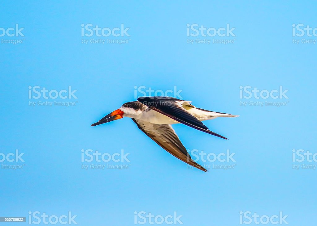 Black Skimmer In Fly stock photo
