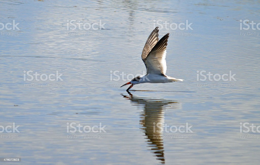 Black Skimmer in the Indian River Lagoon stock photo