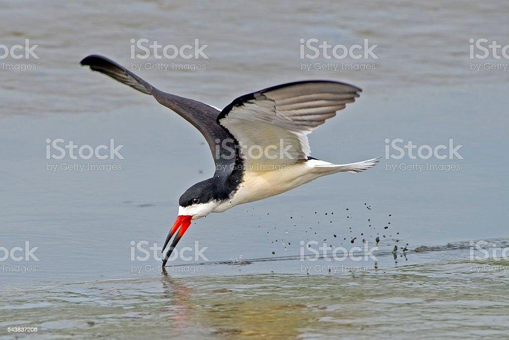 Black Skimmer stock photo
