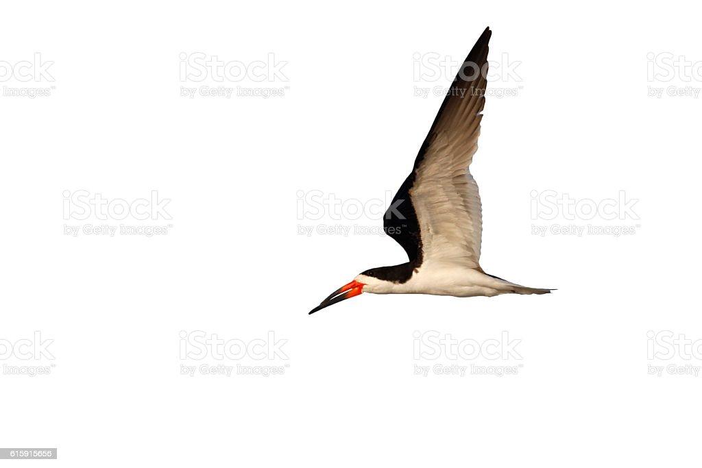 Black skimmer, Rynchops niger stock photo