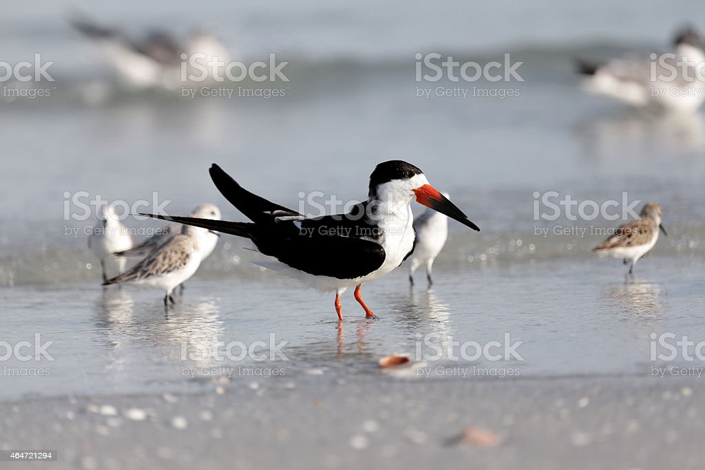 Black skimmer, Rynchops niger, standing on the beach stock photo