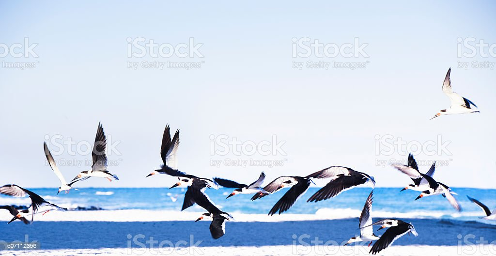 Black Skimmer Seagull Flying Over Ocean in Miami Beach Florida stock photo
