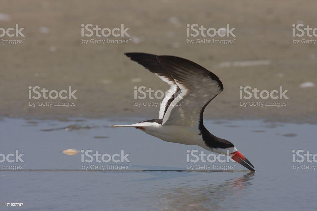 Black Skimmer skimming stock photo