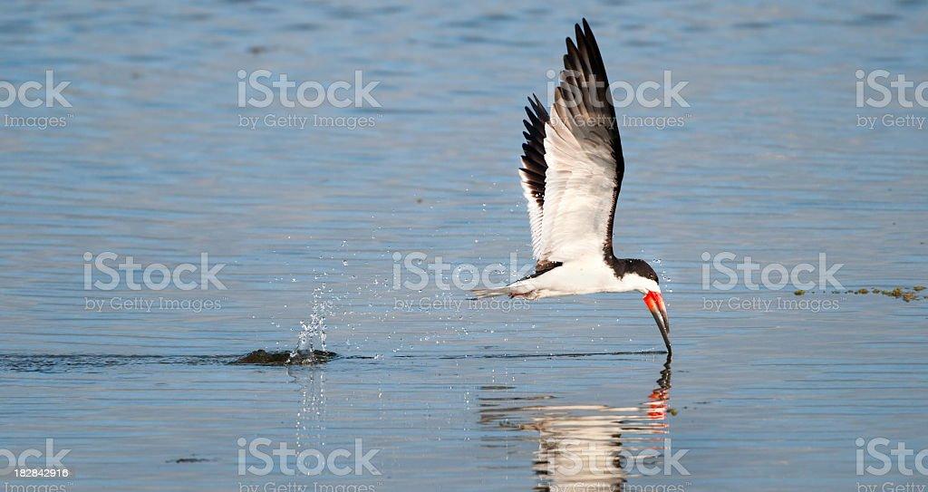 Black Skimmer Skipping & Splashing Water stock photo