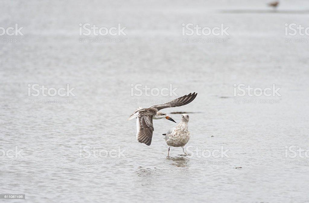 Black Skimmer startles gull stock photo