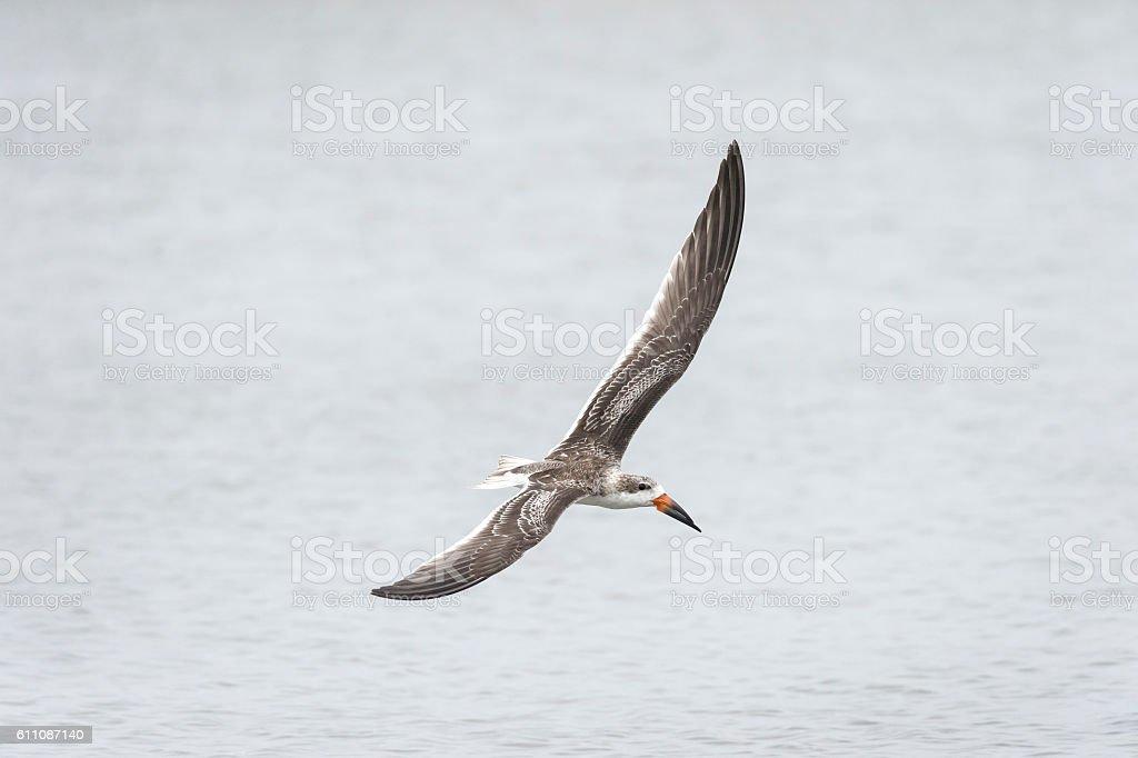 Black Skimmer wingspan stock photo