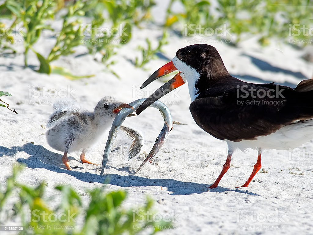 Black Skimmer with Chicks stock photo