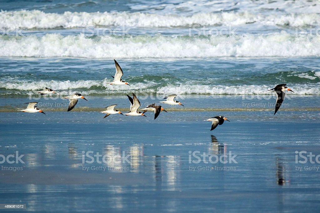 Black Skimmers flying stock photo
