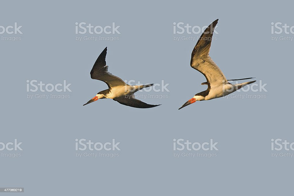 Black Skimmers In Flight stock photo