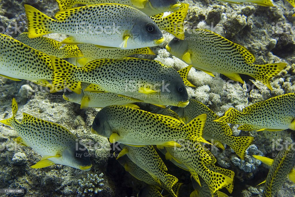 Black spotted sweetlips stock photo