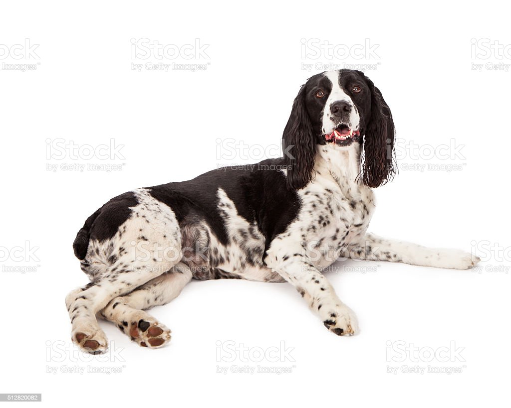 Black Springer Spaniel Dog Laying Over White stock photo