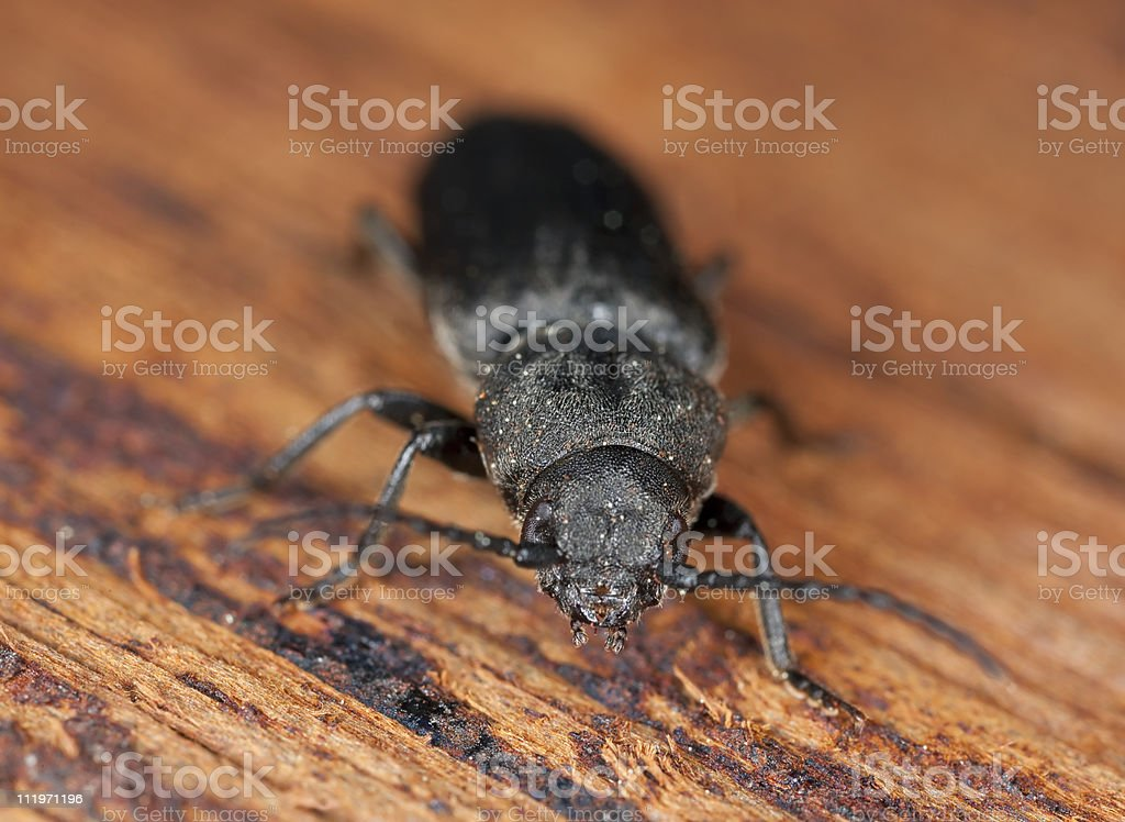 Black spruce borer (Asemum striatum) on wood. stock photo