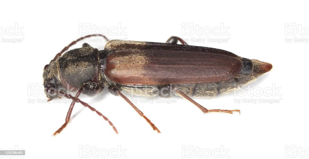 Black spruce long-horn beetle (tetropium castaneum) isolated on white background stock photo