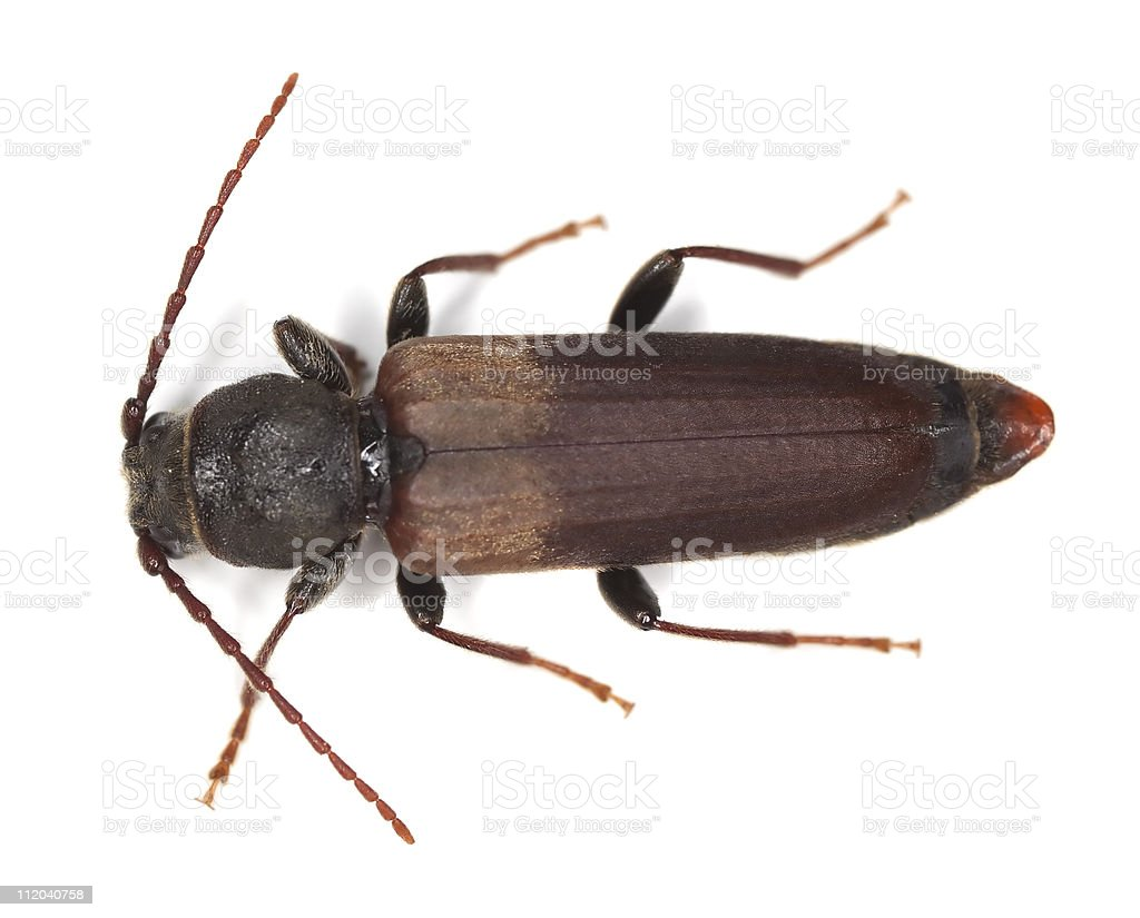 Black spruce long-horn beetle (tetropium castaneum) stock photo