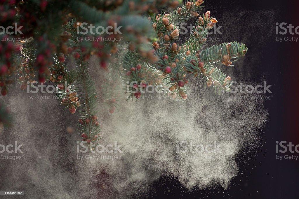 Black Spruce Tree releasing Pollen royalty-free stock photo