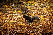 Black Squirrel between autumn leaves - Toronto, Canada