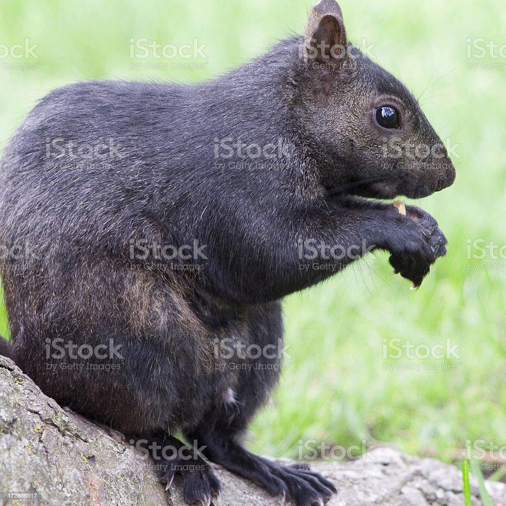 Black Squirrel Eating a Peanut stock photo