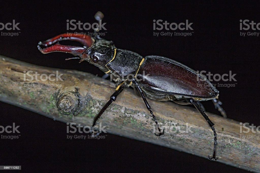 Black stag beetle on a tree twig stock photo