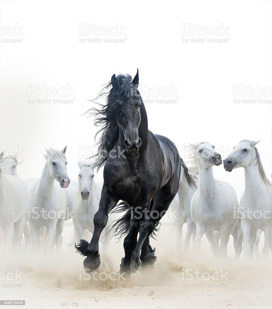 Black stallion and white horses stock photo