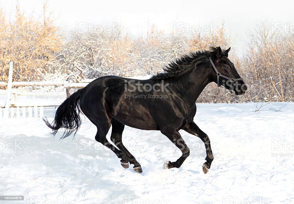 Black stallion in gallop over snow stock photo