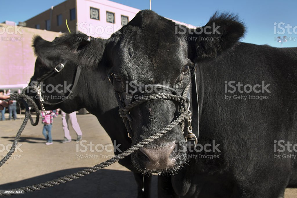Black steer pair National Western Stock Show Colorado stock photo