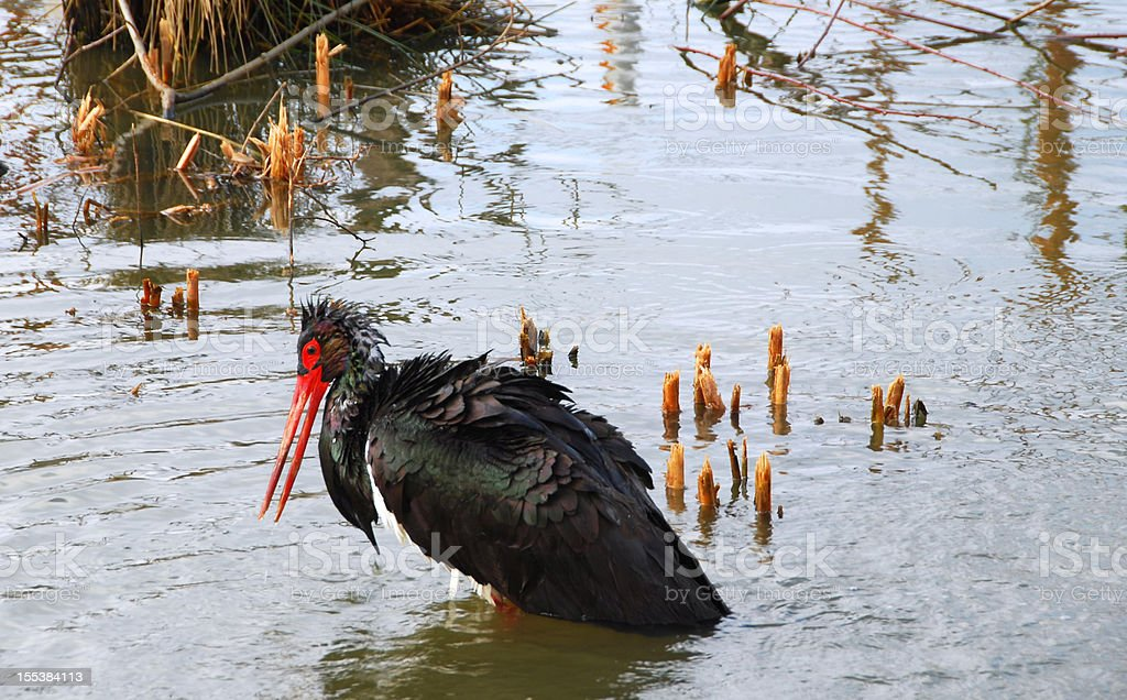 Black Stork in a pond royalty-free stock photo