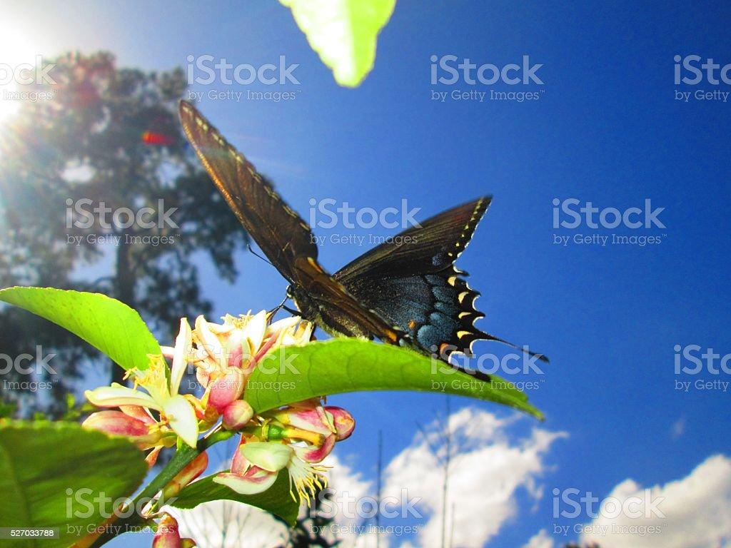 Black Swallowtail Butterfly on LemonTree Flowers stock photo