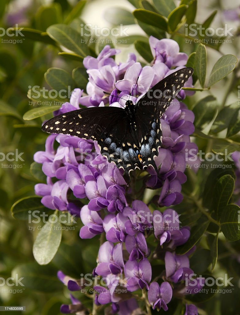 Black Swallowtail Butterfly on Purple Flowers stock photo