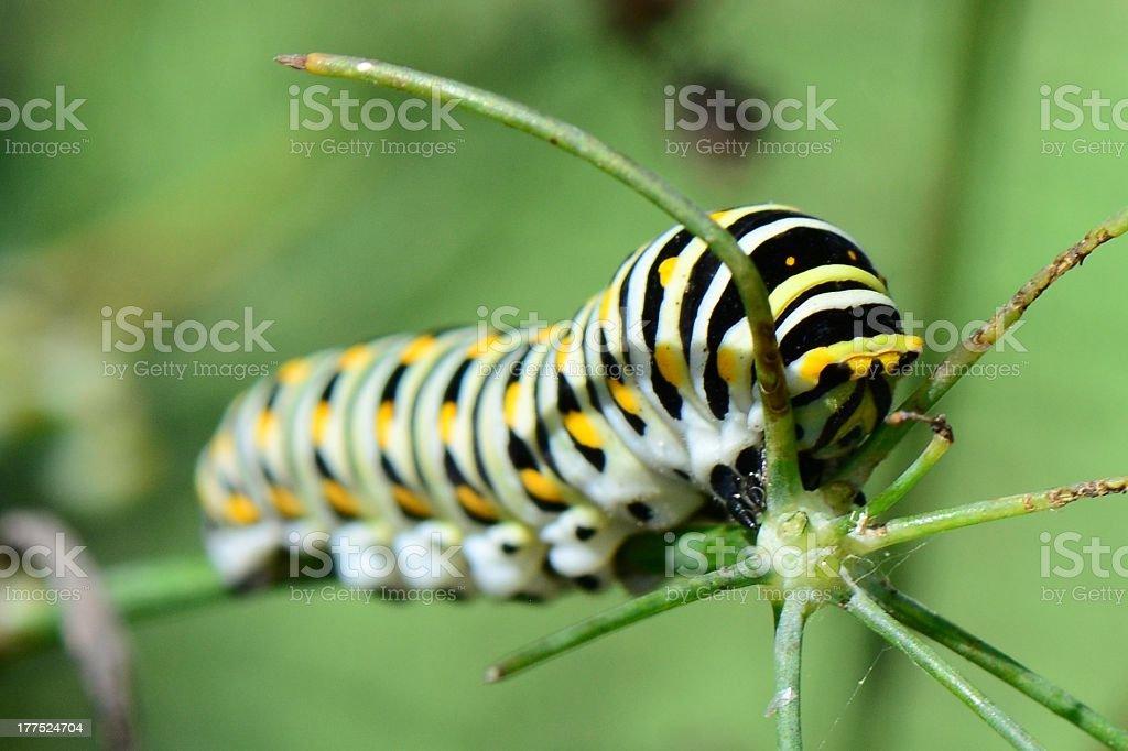 Black Swallowtail Caterpillar royalty-free stock photo