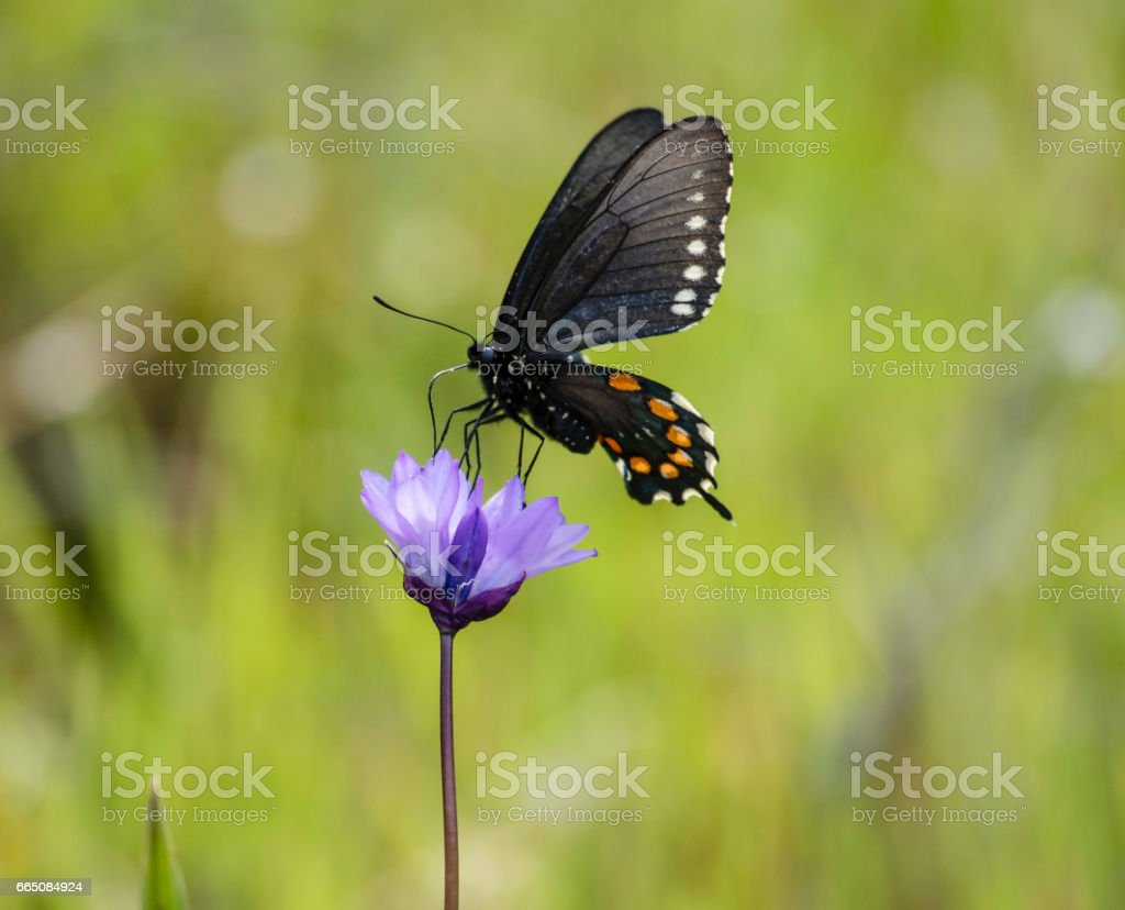 A Black Swallowtail Gathers Nectar from a Purple WildFlower stock photo