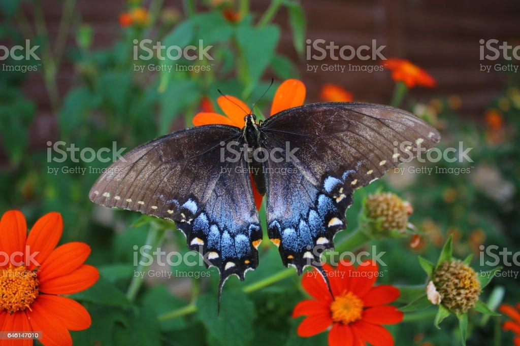 Black Swallowtail Open stock photo