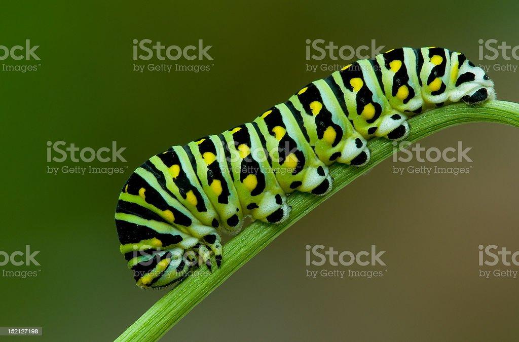 Black swallowtail stock photo
