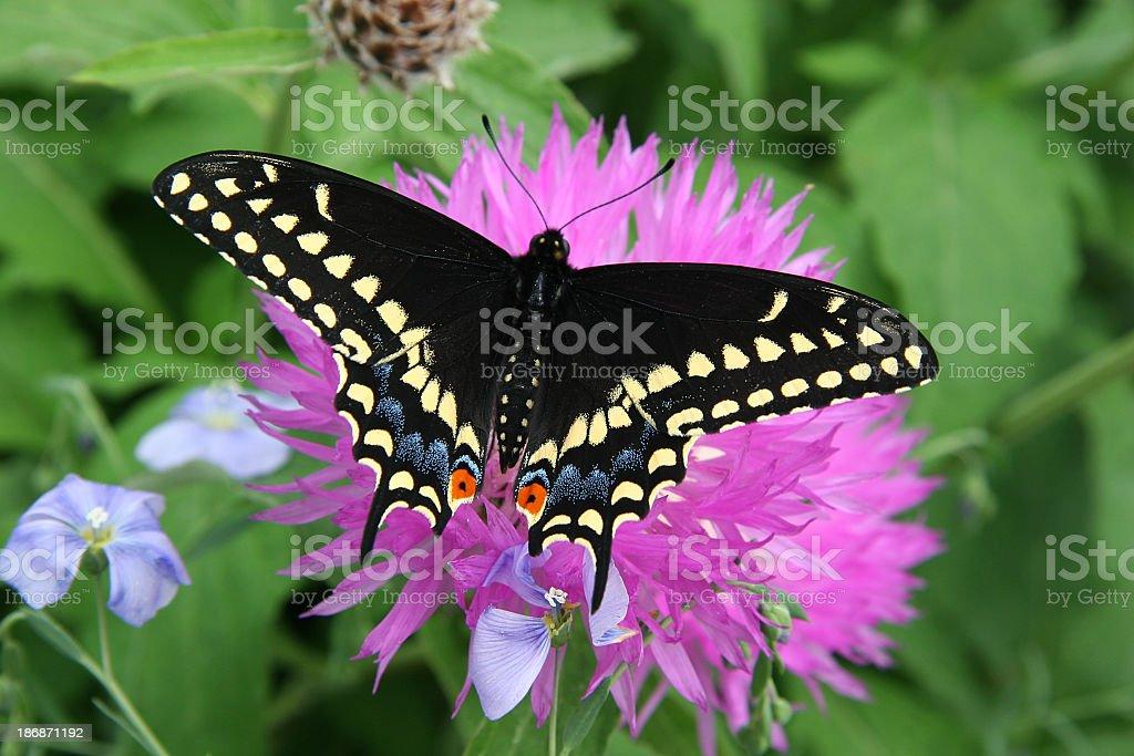 Black Swallowtail royalty-free stock photo