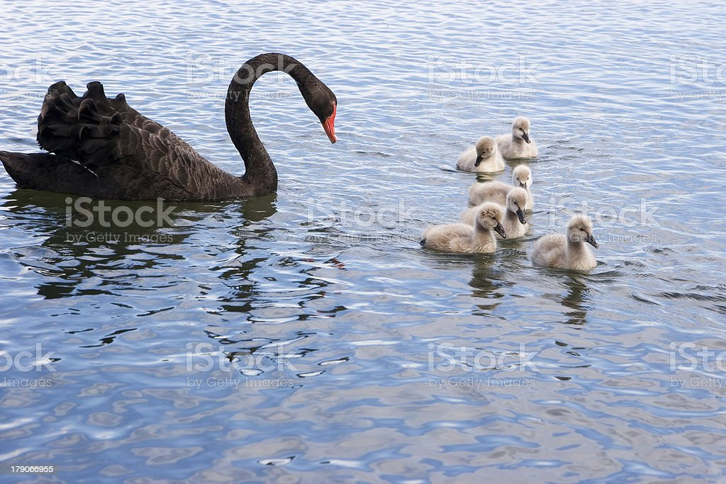 Black swan and cygnets stock photo