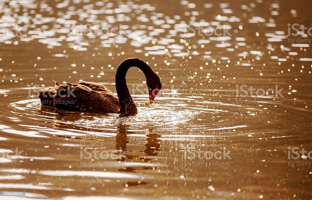 Black Swan (Cygnus atratus) at Pang-ung, North of Thailand. stock photo