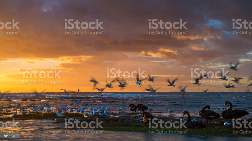 Black swan at sunset stock photo