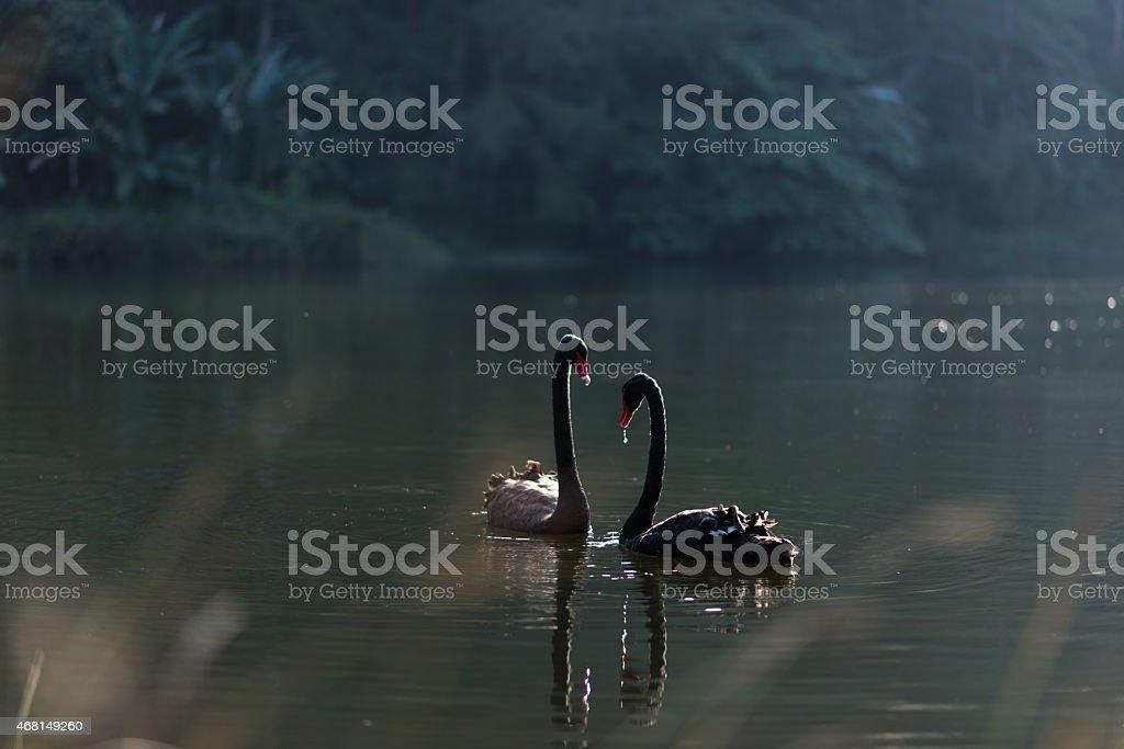 Black Swan Couple stock photo
