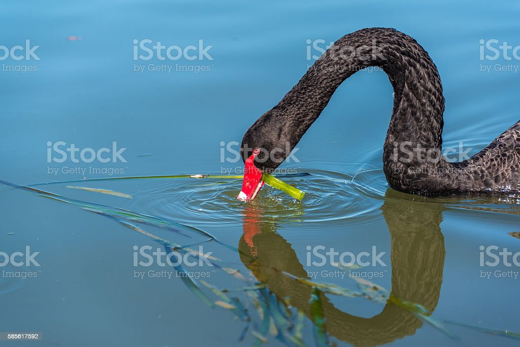 Black swan eating green weed stock photo