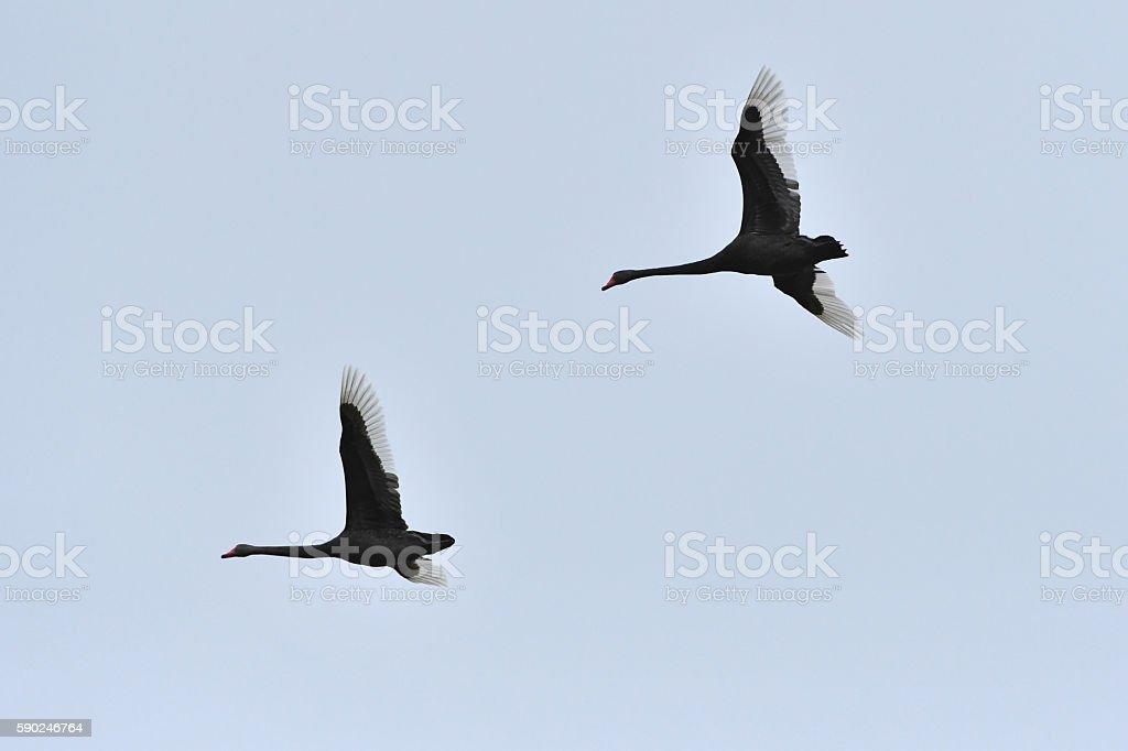 Black swan pair in flight stock photo