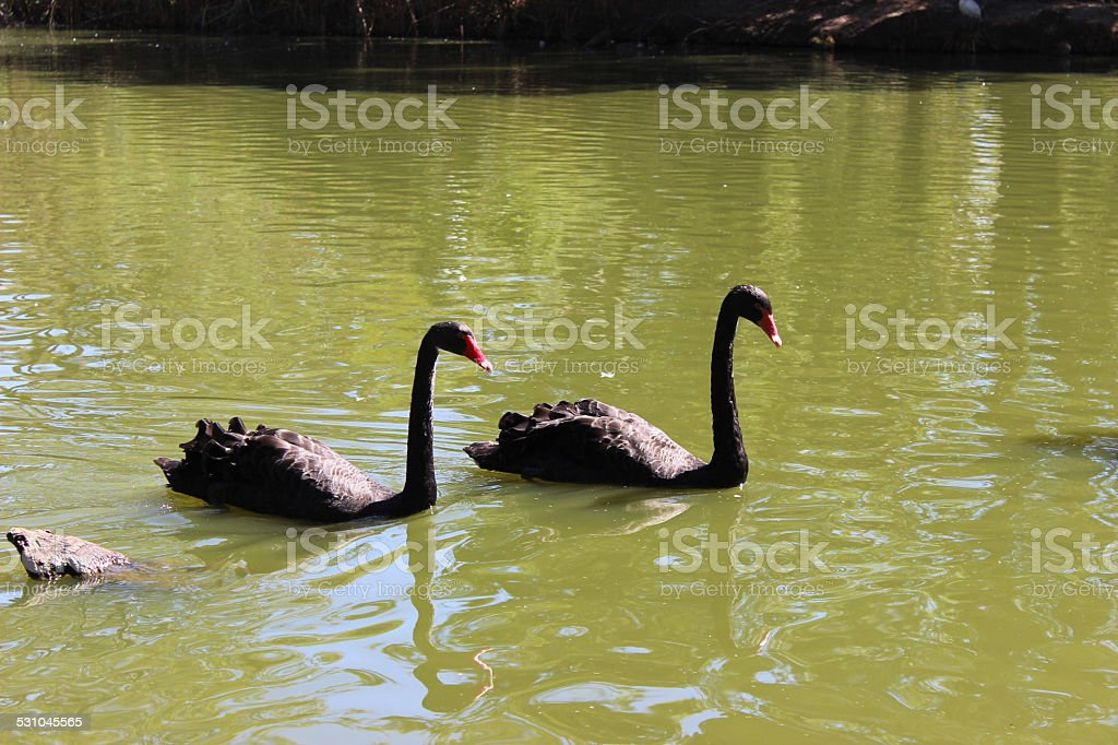 Black Swan royalty-free stock photo
