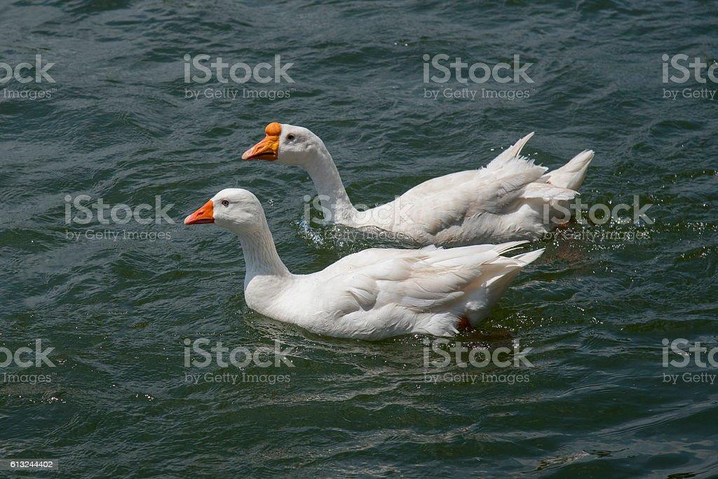 Noir swan  photo libre de droits
