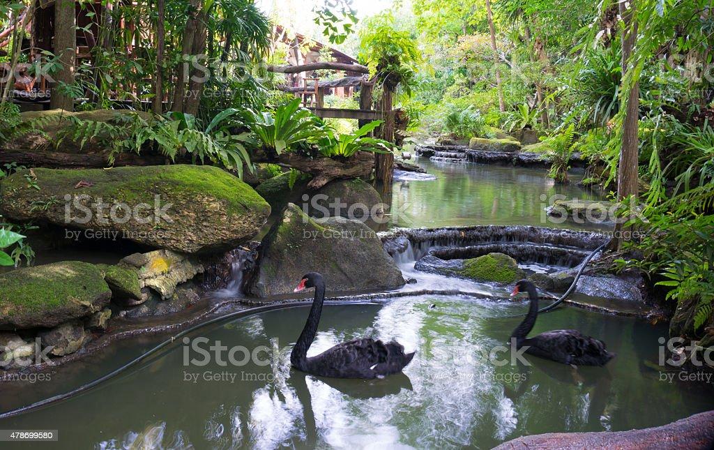Black swans gliding on a pond stock photo