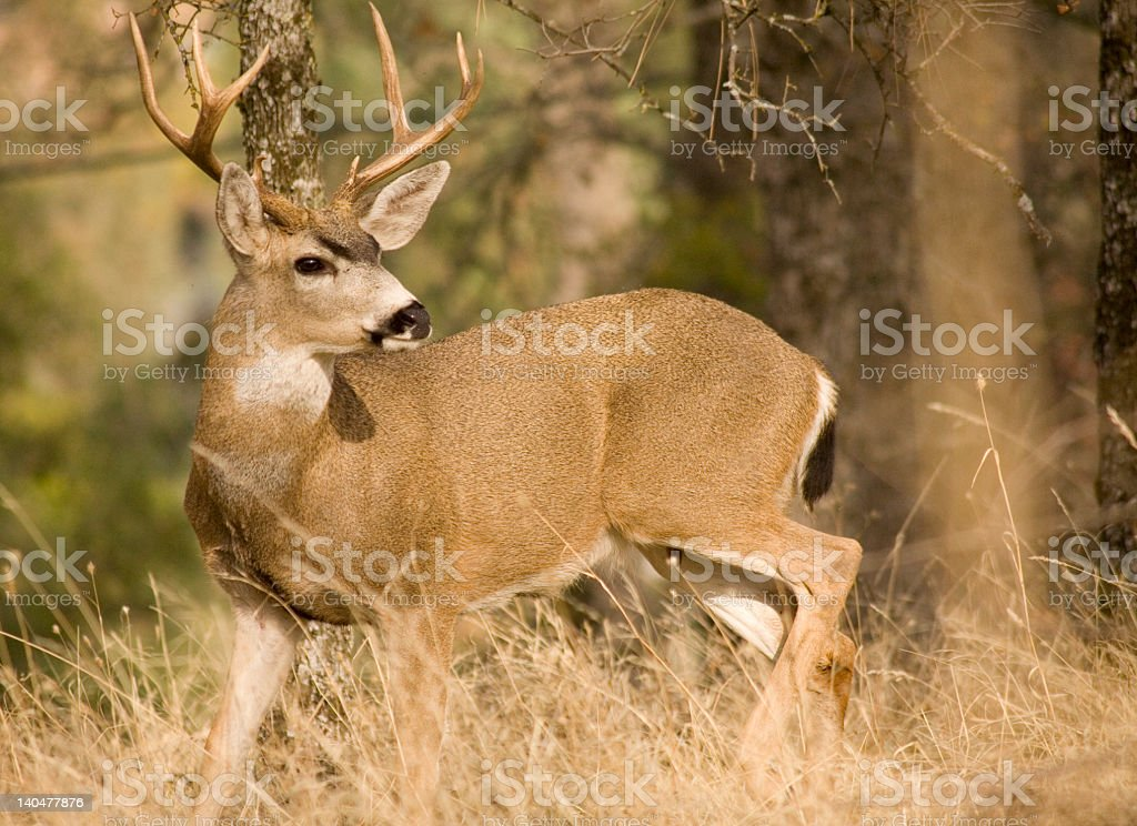 A black tailed deer in the wilderness stock photo
